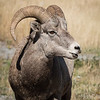 Young Bighorn Mountain Sheep