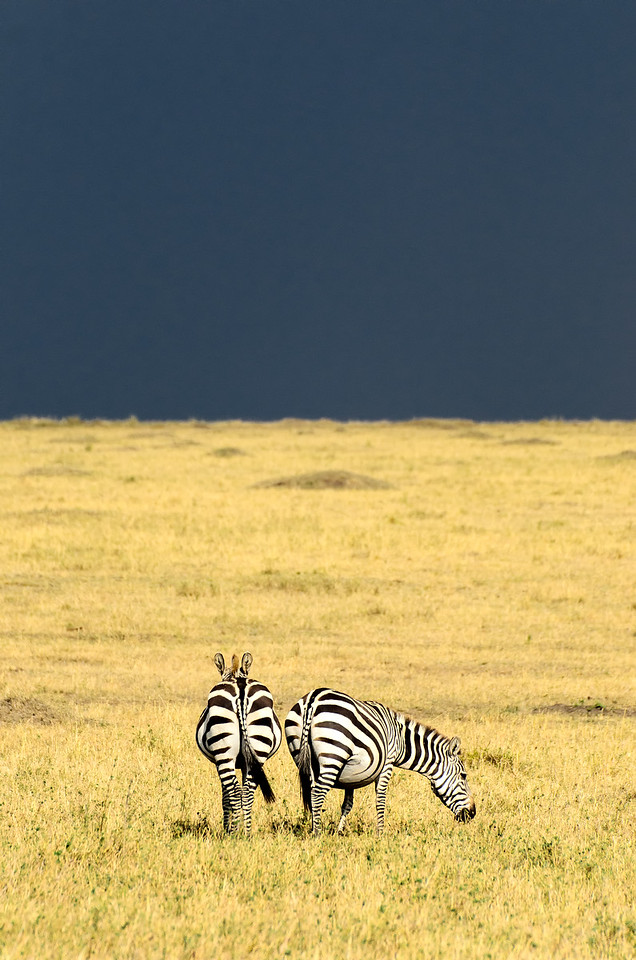 Zebras Sunset