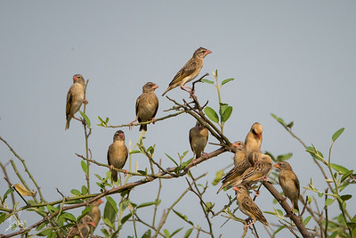 Quelea, Red-billed (spp. aethiopica)