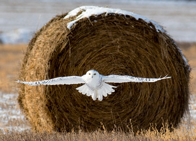 Dec. 4, 2018 -  Spotting a mouse or a vole, a snowy owl makes a foray from its round bale perch but is unsuccessful and will try again in the snowy stubble east of High River. (Mike Sturk photo)