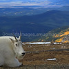 Mountain Goat Hello
