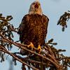 Bald Eagle 2/4/17