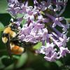 Bumblebee in Summer