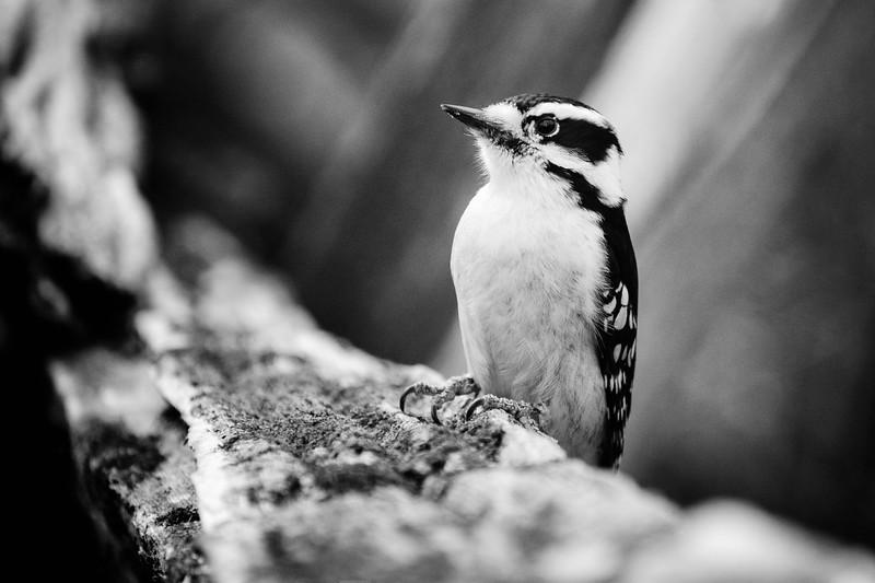 Mono Woodpecker