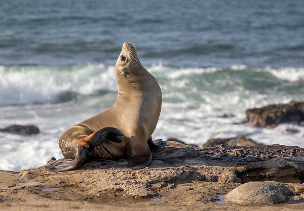 Sea Lion | La Jolla | California