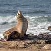 Sea Lion | La Jolla | California