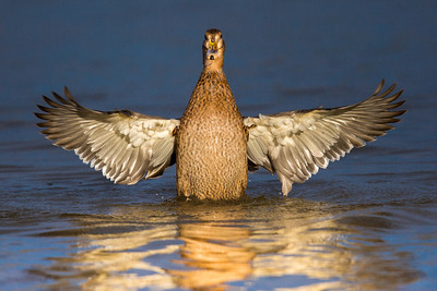 Female Mallard Stretch