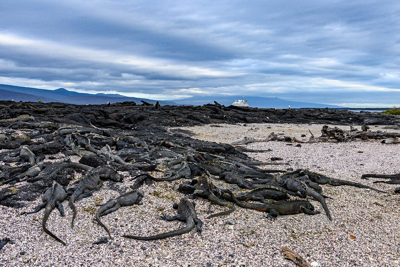 Dozens of Marine Iguanas on the beach with our ship in the background