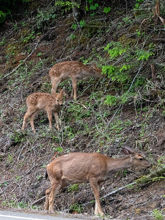 Blacktail deer family