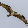 Osprey in Flight