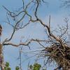 A Juvenile Bald Eagle Far From Home 7/20/17
