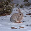 Cold Jack Rabbit in the snow, Canyonlands National Park, Utah