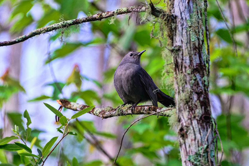 Puffed up Grey Catbird