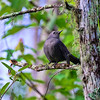 Puffed up Grey Catbird