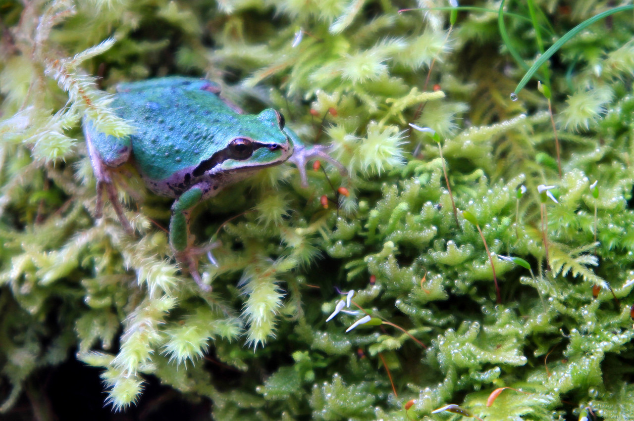 A frog sits amongst mosses growing on the trunk of a maple. Denman Island, British Columbia. March, 2013.