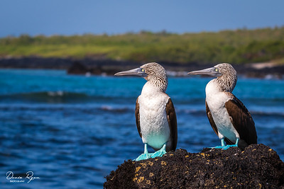 Blue-footed Booby's