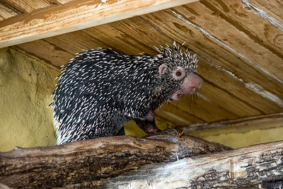 Porcupine hiding out...