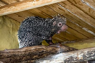Porcupine hiding out...