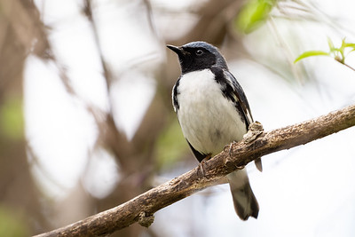 389- Black-throated Blue Warbler