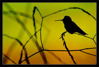 Hummingbird Silhouette  An Anna's hummingbird perches against sunset-light falling on spring fields.  Shoreline Park Mountain View, California  04-APR-2011