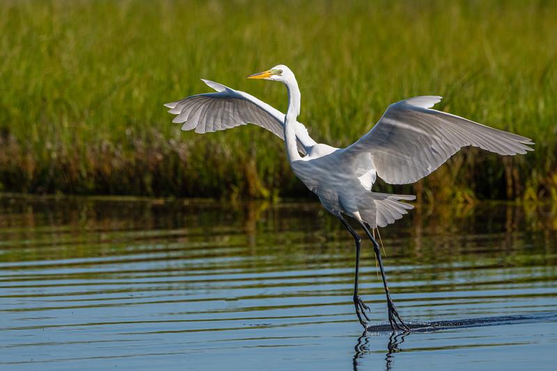 Great Egret, Wildwood, NJ