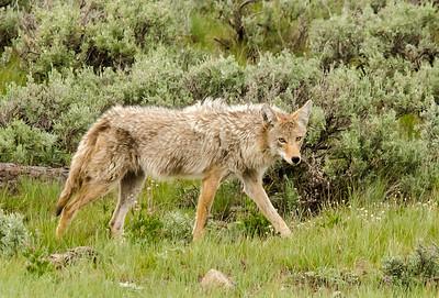 Lurking Coyote