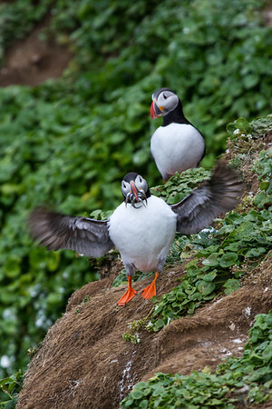 Puffin display