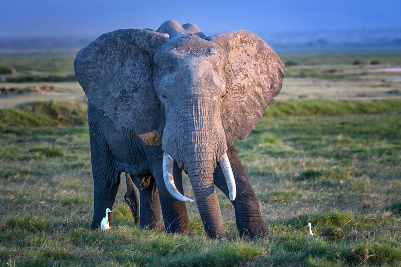 Large bull elephant at sunset in Amboseli National Park, Kenya, East Africa