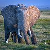 Large bull elephant at sunset in Amboseli National Park, Kenya, East Africa