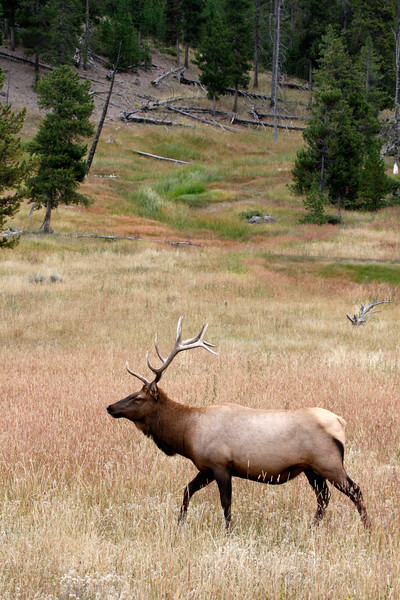 Elk | 12-point - Yellowstone National Park