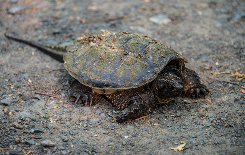 Snapping Turtle on Trail 5/29/16