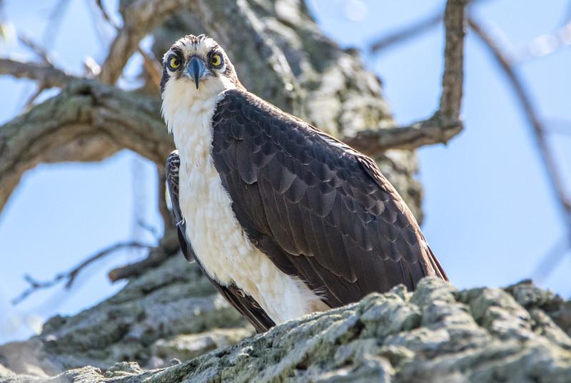 Osprey Looking Down 4/20/16