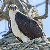 Osprey Looking Down 4/20/16