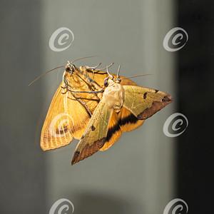 Green Drab Ophiusa tirhaca Moth Sees Itself in a Mirror