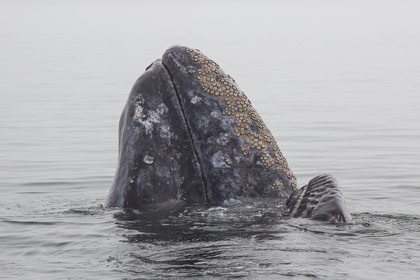 Grey whale and calf