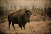 One Big Bison