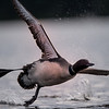Loon landing in morning light