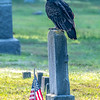 Turkey Vulture Perched On Gravestone 8/31/19