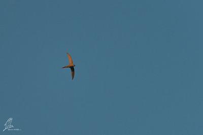 Palm-swift, African