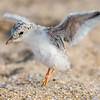 Least Tern Chick Getting Air 6/27/16