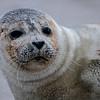 Harp Seal on Beach, Ocean Grove, NJ