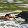 Loon Chick Being Fed by Adult