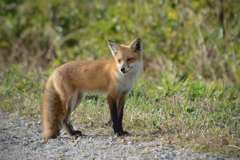 Red Fox II
