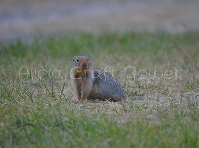 Ground Squirrel at Tally Lake, Montana