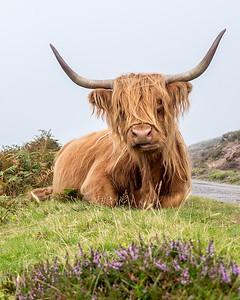 Highland Coo Scotland