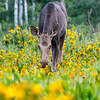 Moose in Wildflowers