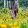 Moose in Wildflowers