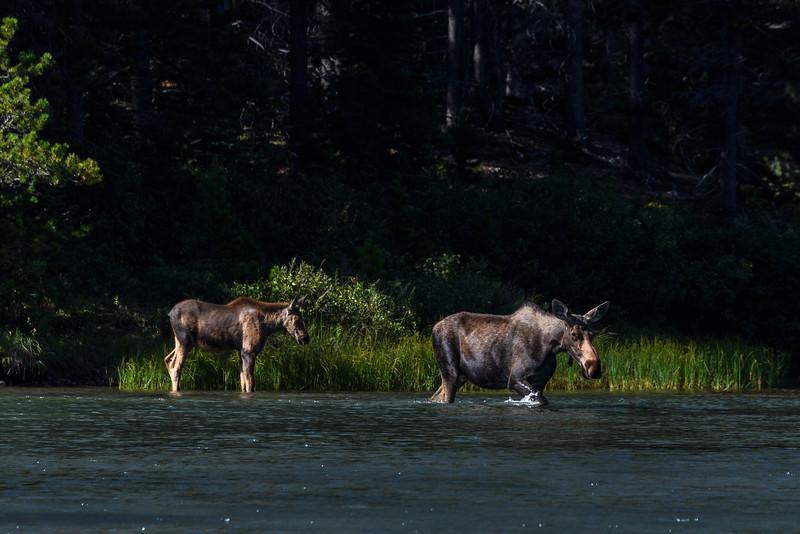 Moose and calf at Fishercap Lake, Glacier National Park, Montana