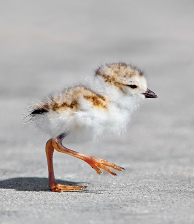 _JFF8063 Piping Plover Chick First Day