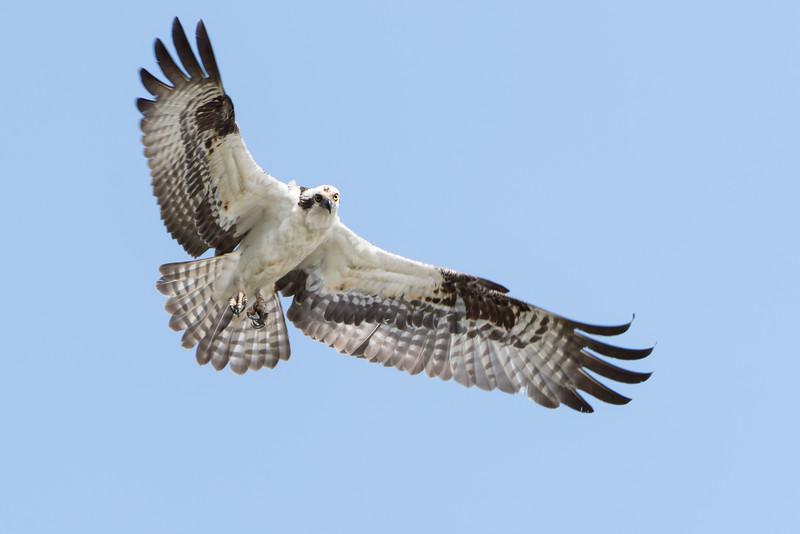 256- Osprey